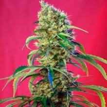 Sweet Seeds Black Jack CBD...